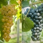 Contest harvests names for new wine grapes