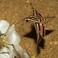 Study: Hawkmoths use humidity to sense nectar
