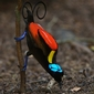 Talk Reveals Exotic Birds-of-Paradise