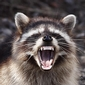 Wildlife Biologists Head to NYC to stop raccoons from spreading rabies