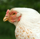 Cornell poultry experts recognized