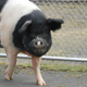 Pet pig Nemo's cancer treatment makes history