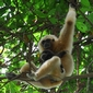New Macaulay Library clips let you listen to gibbons hoot in Thailand's forests